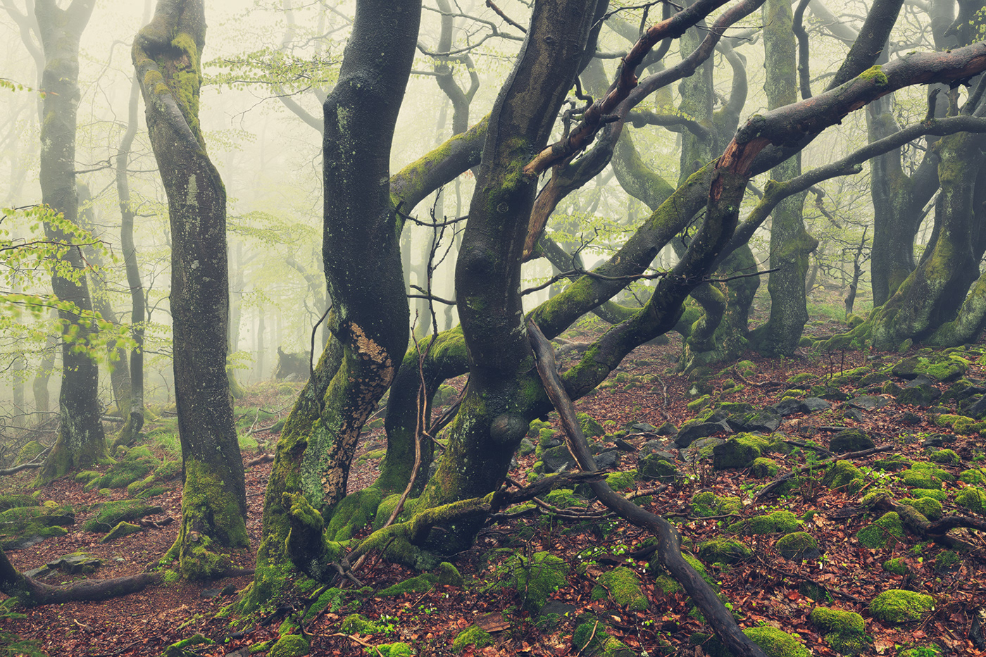 Beech curved DAWN fog forest mist mountain spring trees Treescape