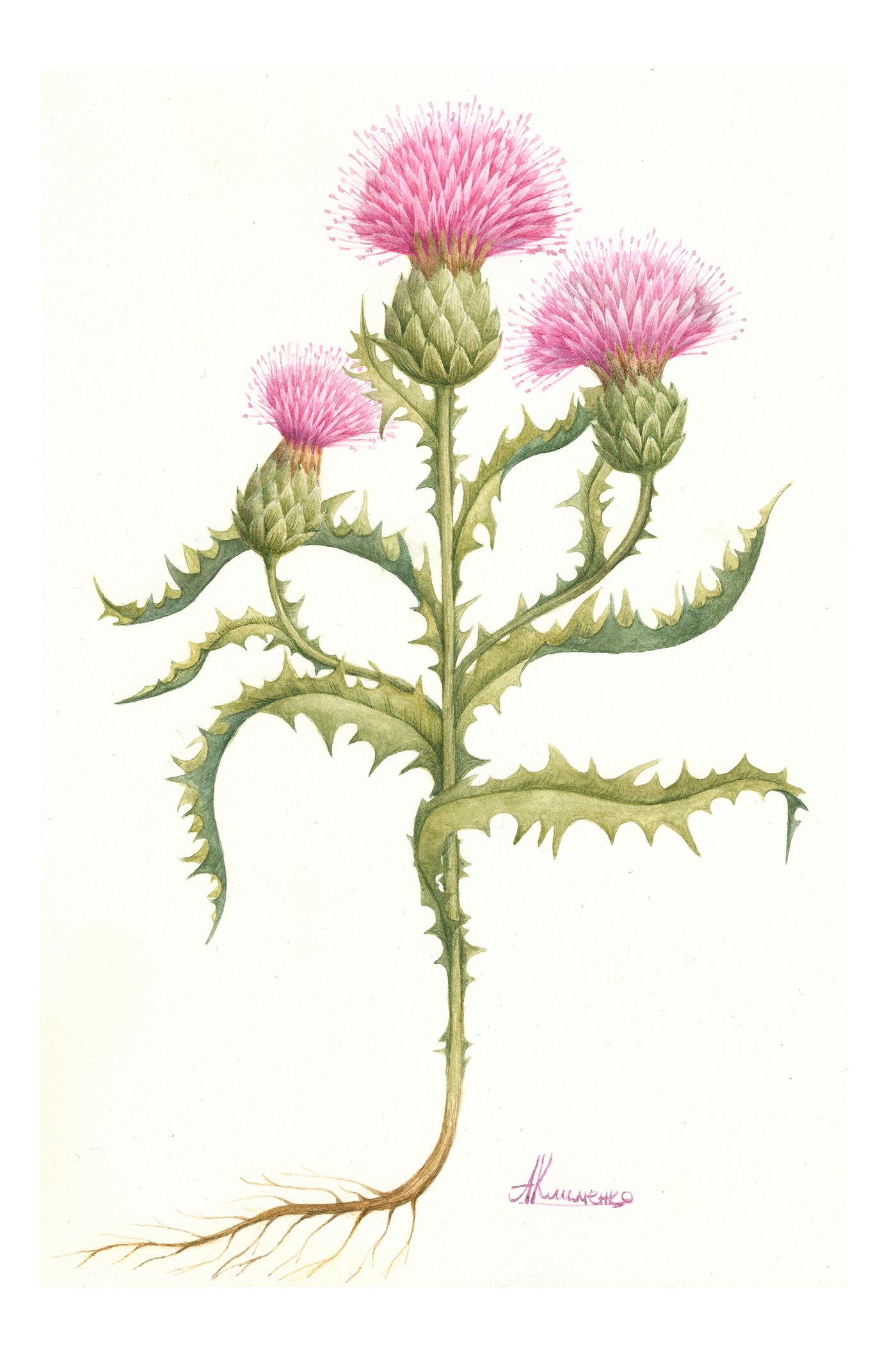 Расторопша цветок рисунок