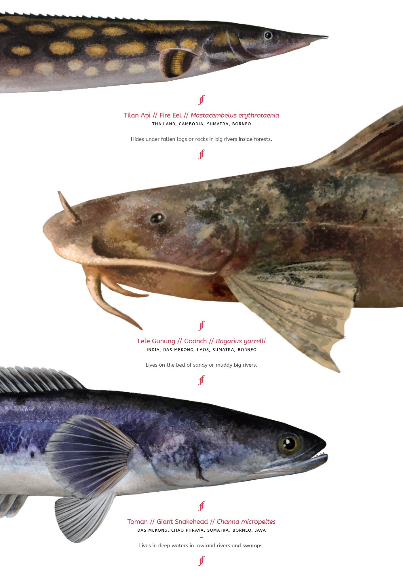 fish animal science biology creature scientific illustration Nature wildlife indonesia Tropical