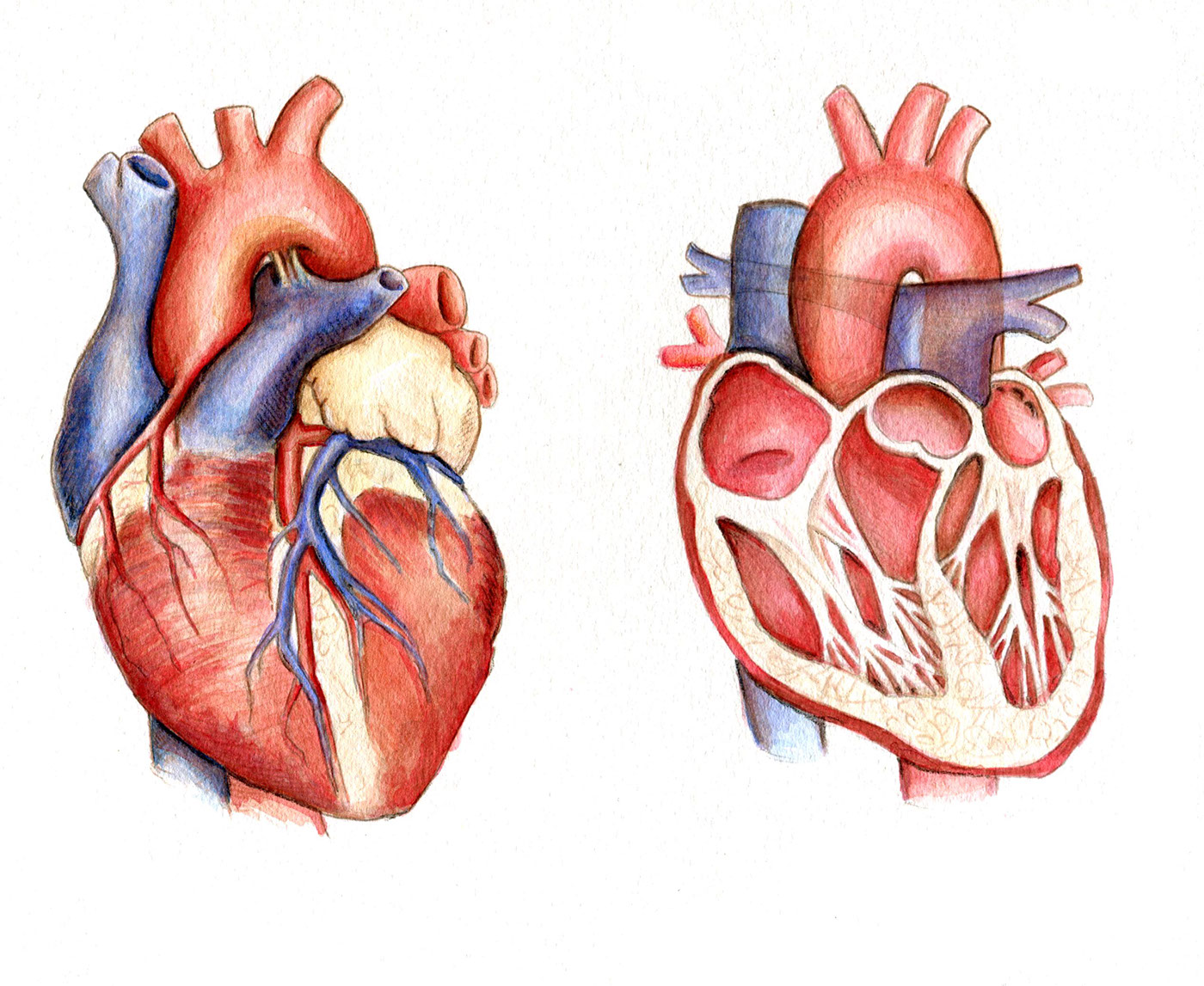 Medical Illustration- Heart diagram on Behance