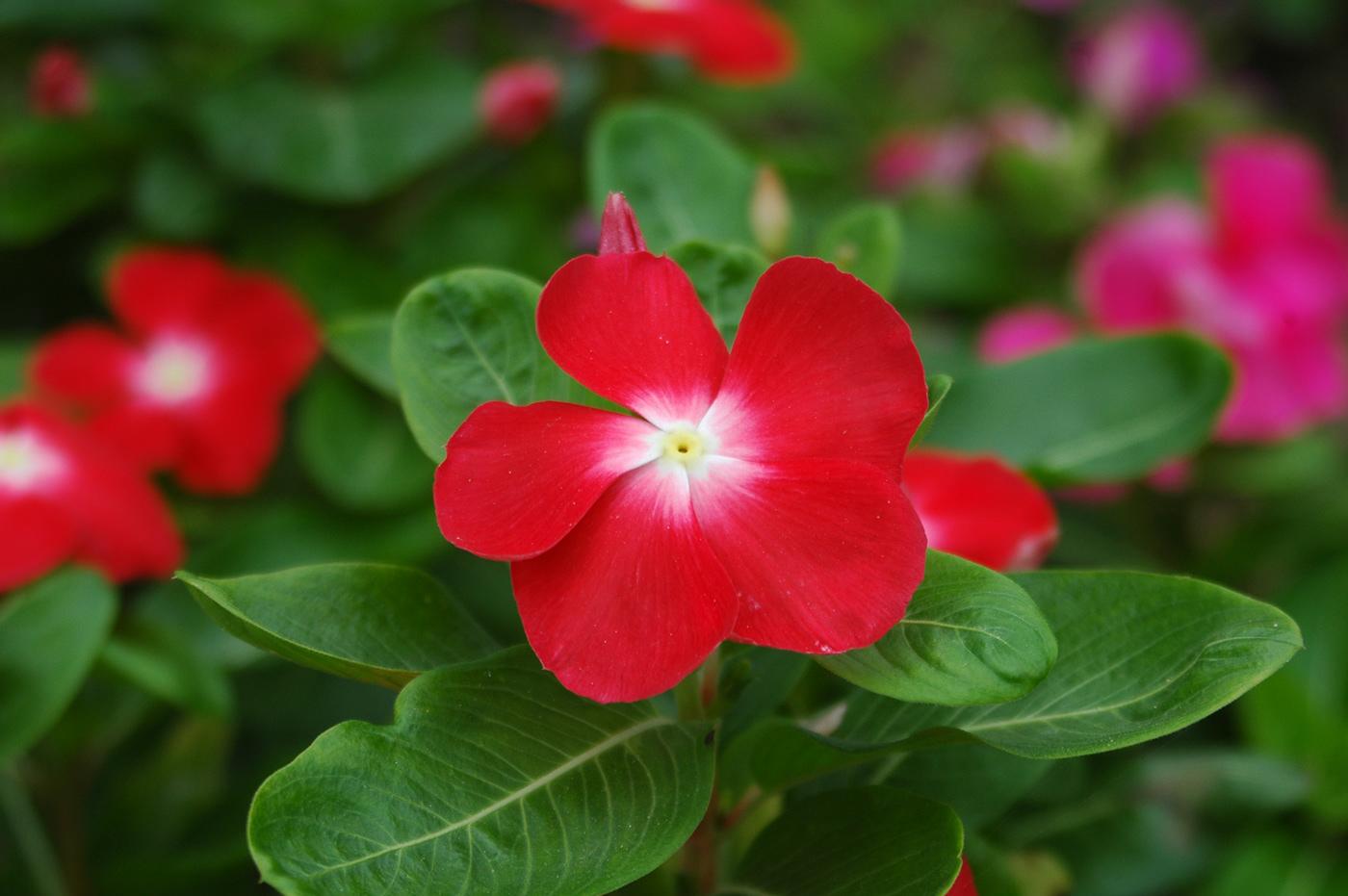 periwinkle flower Nature beauty macro Nikon photo Photography  lightroom photoshop