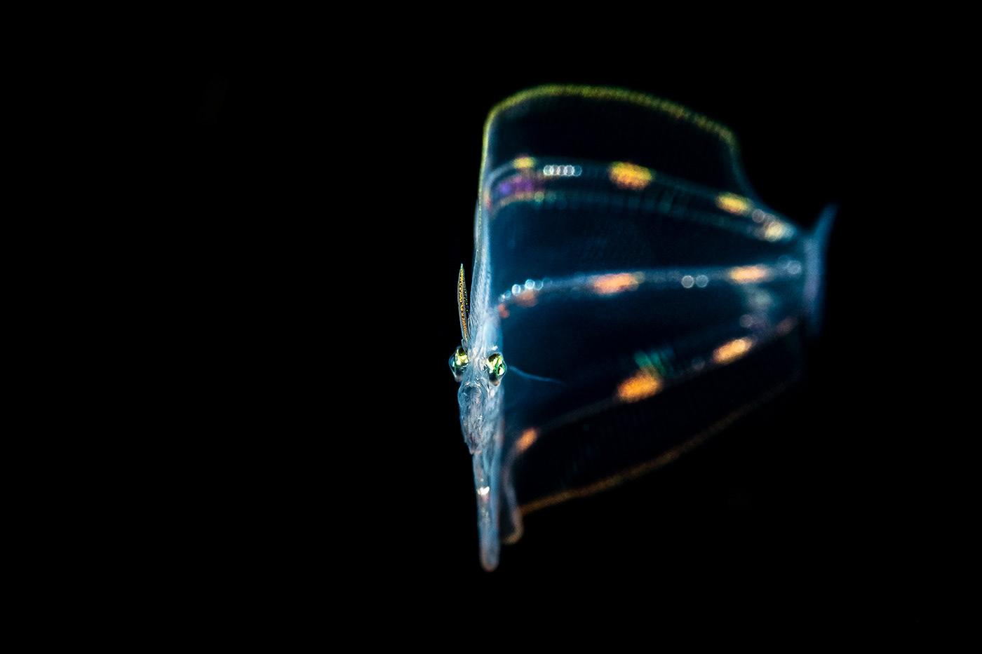 blackwater underwater night dive larval pelagic Nature animals fish babies