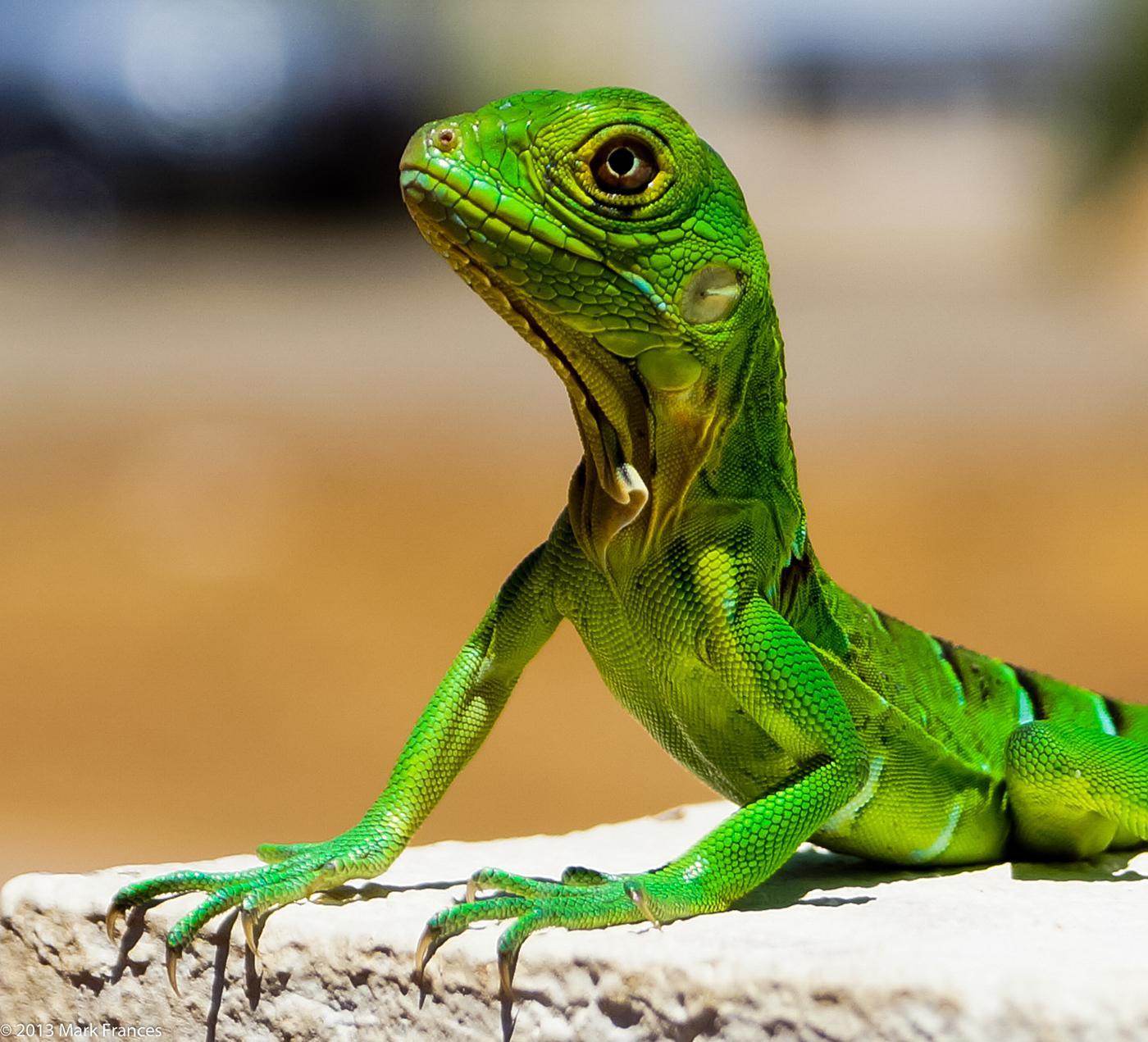 Baby Green Iguana - Aruba on Behance - photo#19