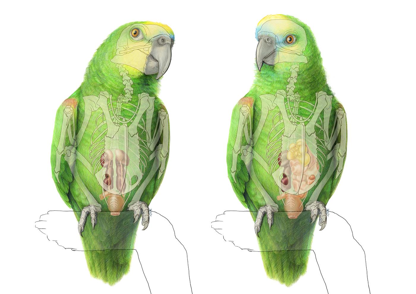 Amazon parrot dissertation