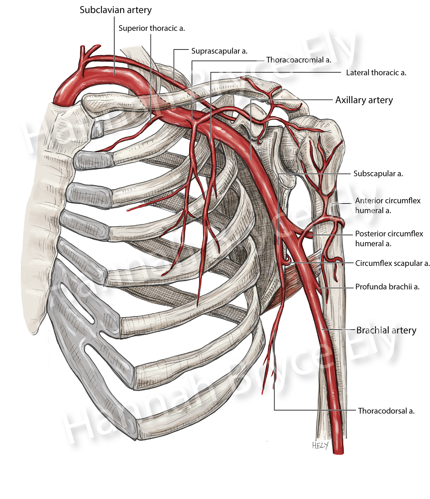 pectoralis major muscle diagram axillary artery and its branches on behance  axillary artery and its branches on behance
