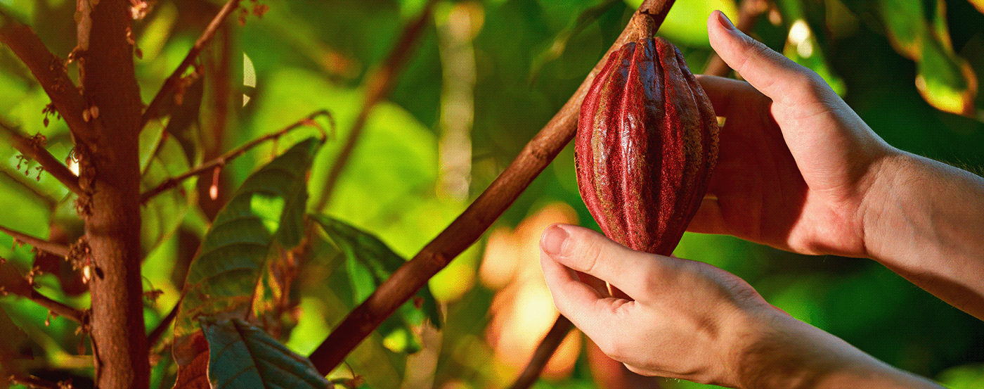 Packaging identity chocolate peru cacao empaque ILLUSTRATION  ilustracion branding  peruano