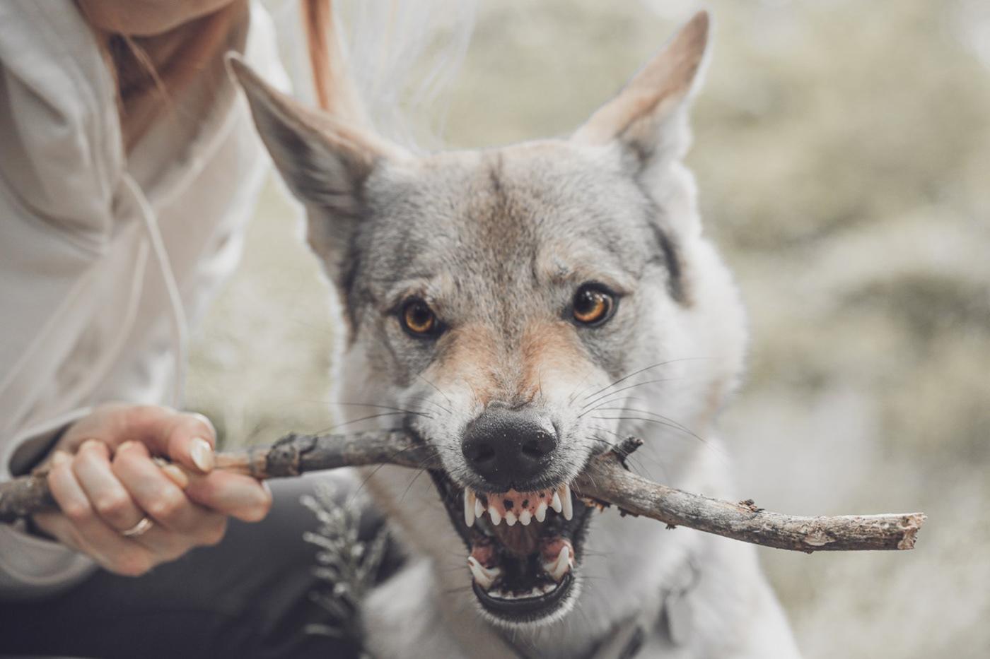 branding  Collection dog dog accessories logo Nature Simply Wild wildness wolfdog wolfs