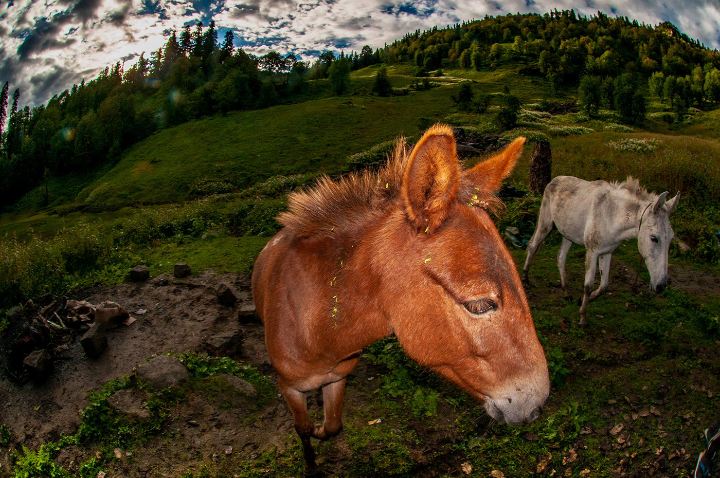 mules graze in the himalayas