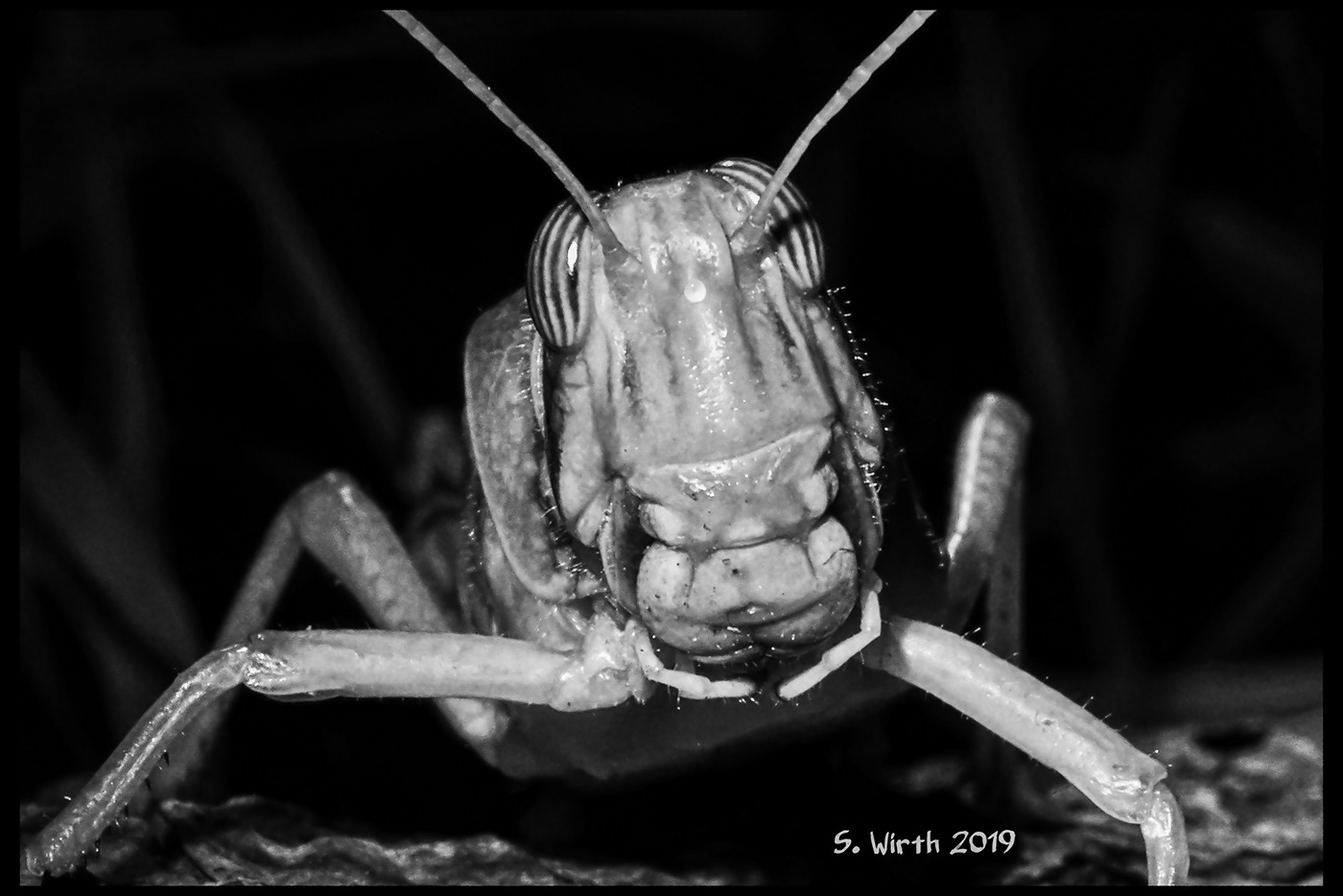 Schistocerca gregaria Adult portrait eyes Mouth insect macro close-up Variations dark background Studio Photography berlin November 2019 Stefan F. Wirth Nature