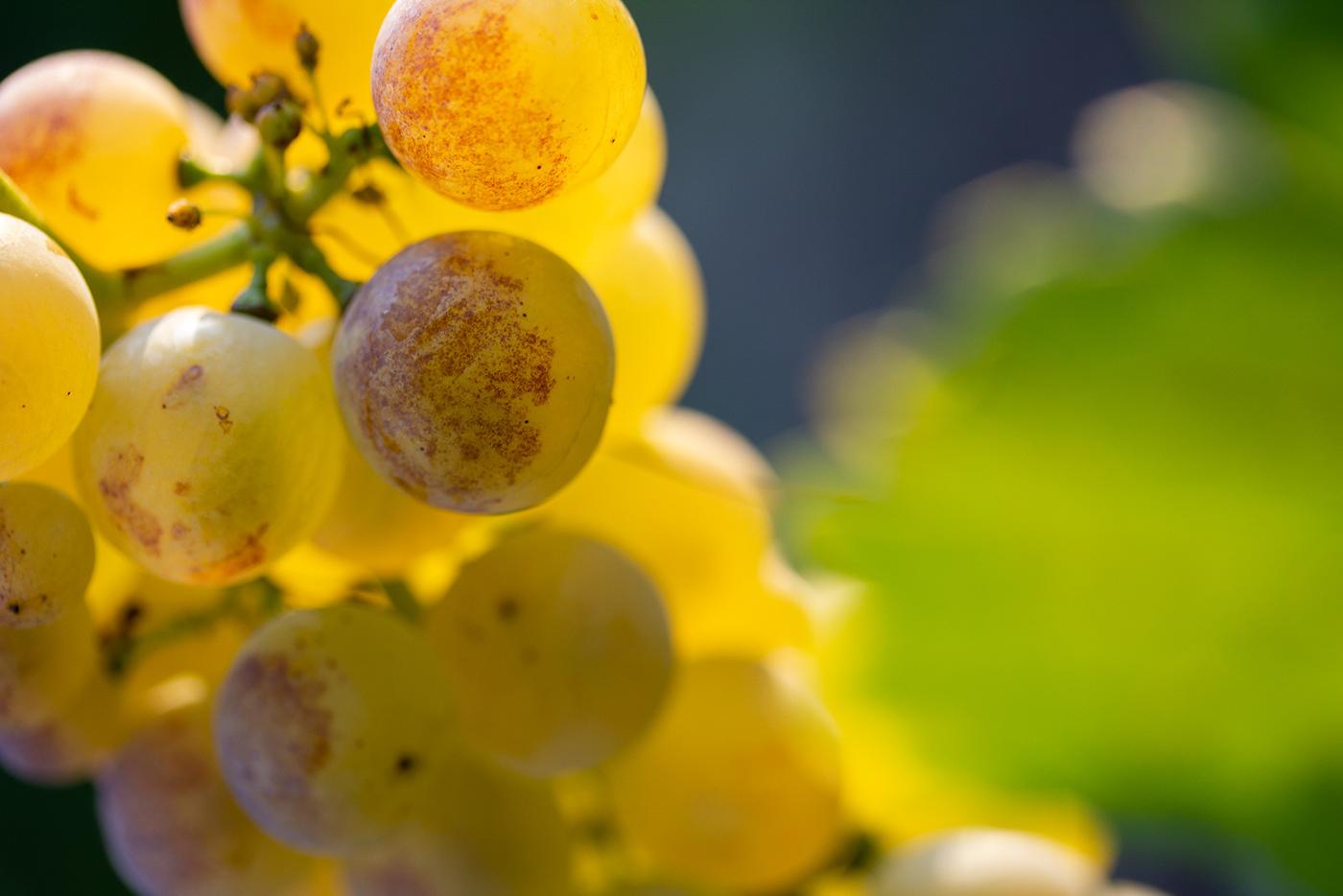 chasselas Golden Light grapes Natural Light swiss wine Switzerland Vineyards wine wine grapes winelover