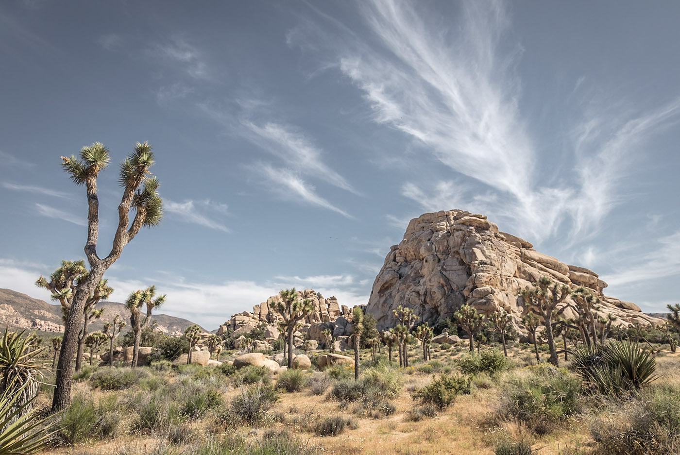 joshua tree state park cactus California Ocotillo Patch Cholla Cactus Jumbo Rocks hidden valley quail springs Park Boulevard