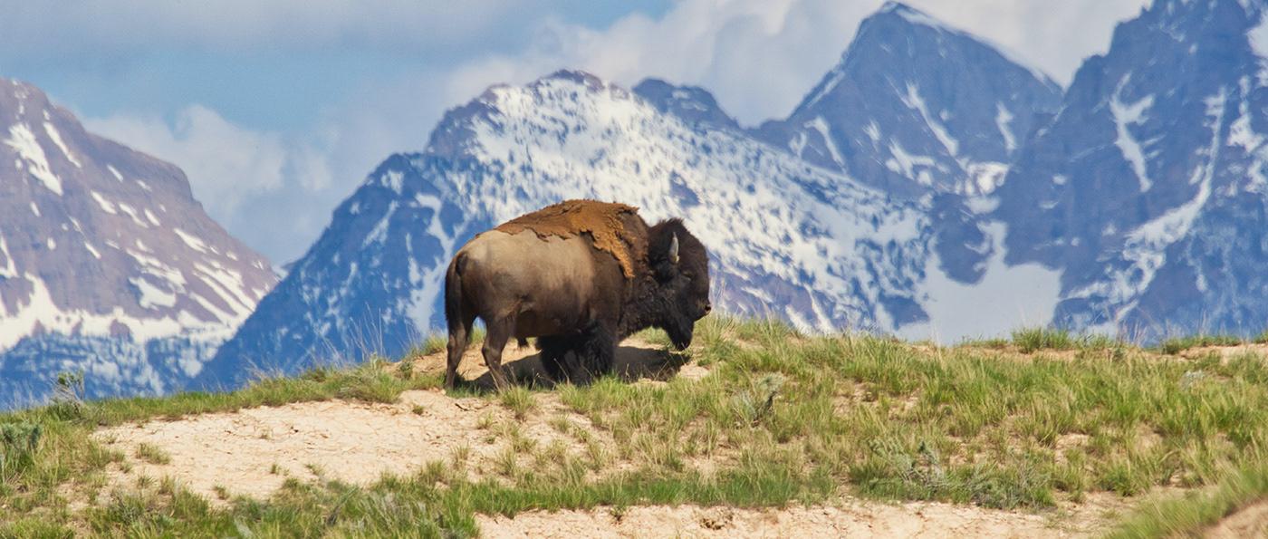 adventure bison brand branding  logo Nature outdoors visual identity wordmark