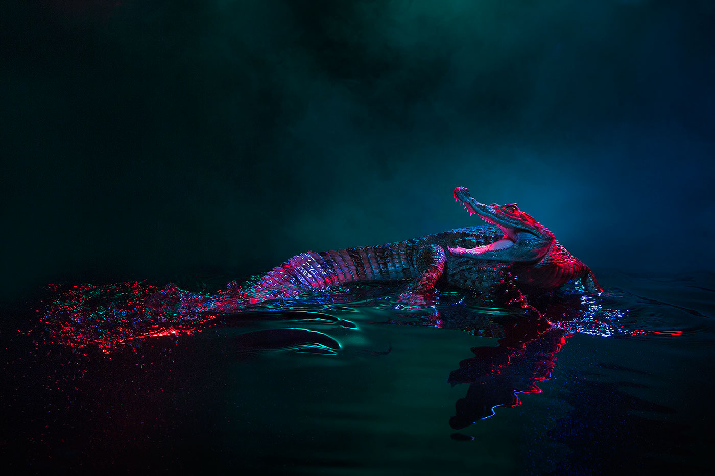 crocodile,caiman,animal,lectures,Animal lecture, lighting,profoto,smoke,colour,color,motion,Andrew McGibbon,London,studio
