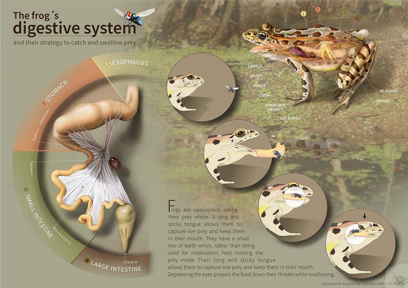 scientific illustration ILLUSTRATION  animals