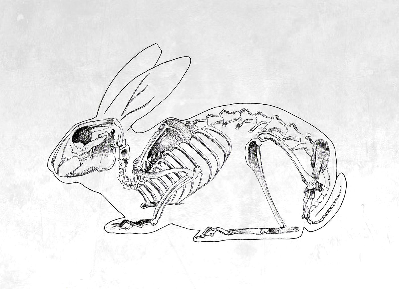 скелет кролика картинка этой статье