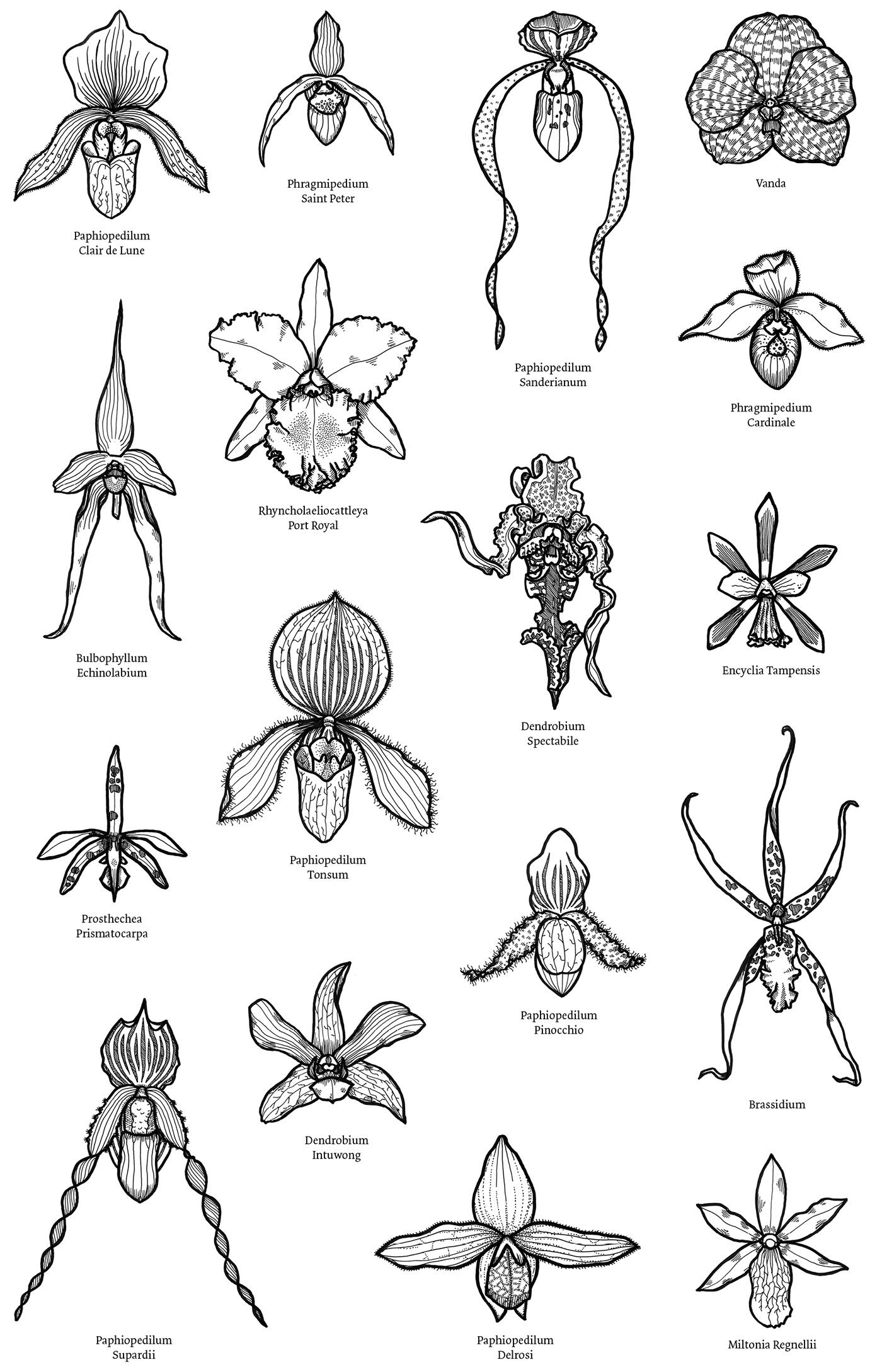 orchids orchid botanical botanical illustration scientific scientific illustration black and white Flowers flower Flora