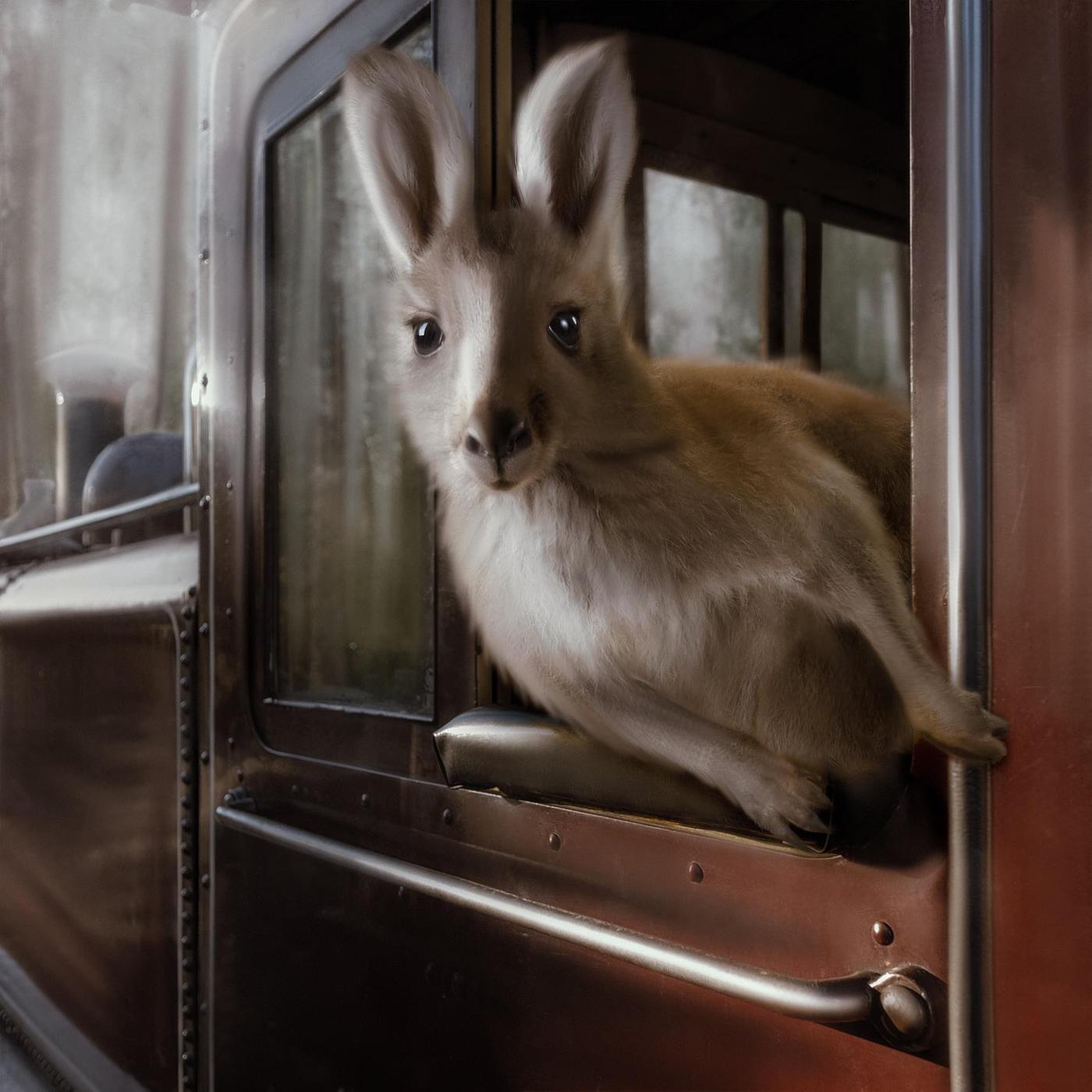 joey kangaroo Puffing Billy train
