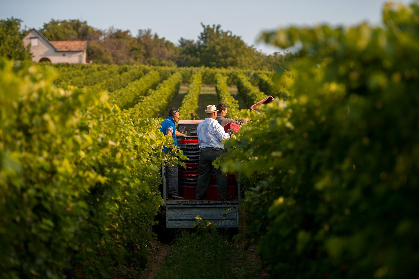 photoreport photo Photography  wine harvest vineyard grape field Work