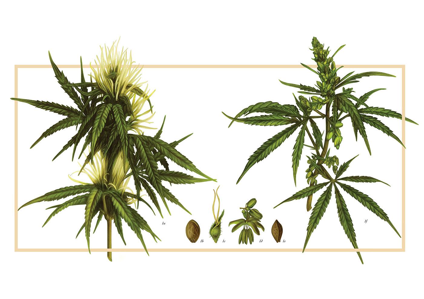 Конопля двудомное растение конопля повышает или понижает