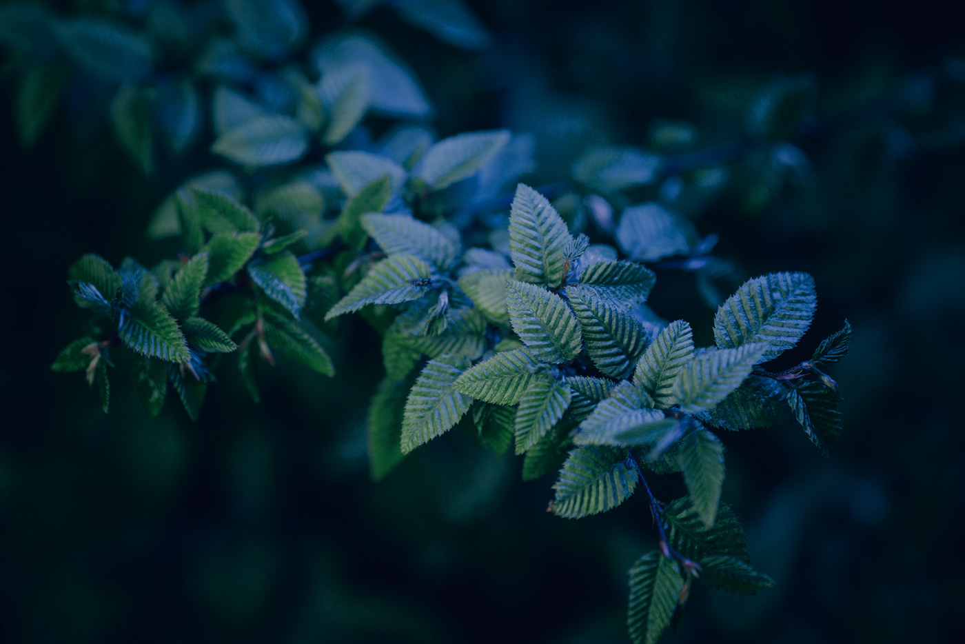 young green tree leaves in neon blue light