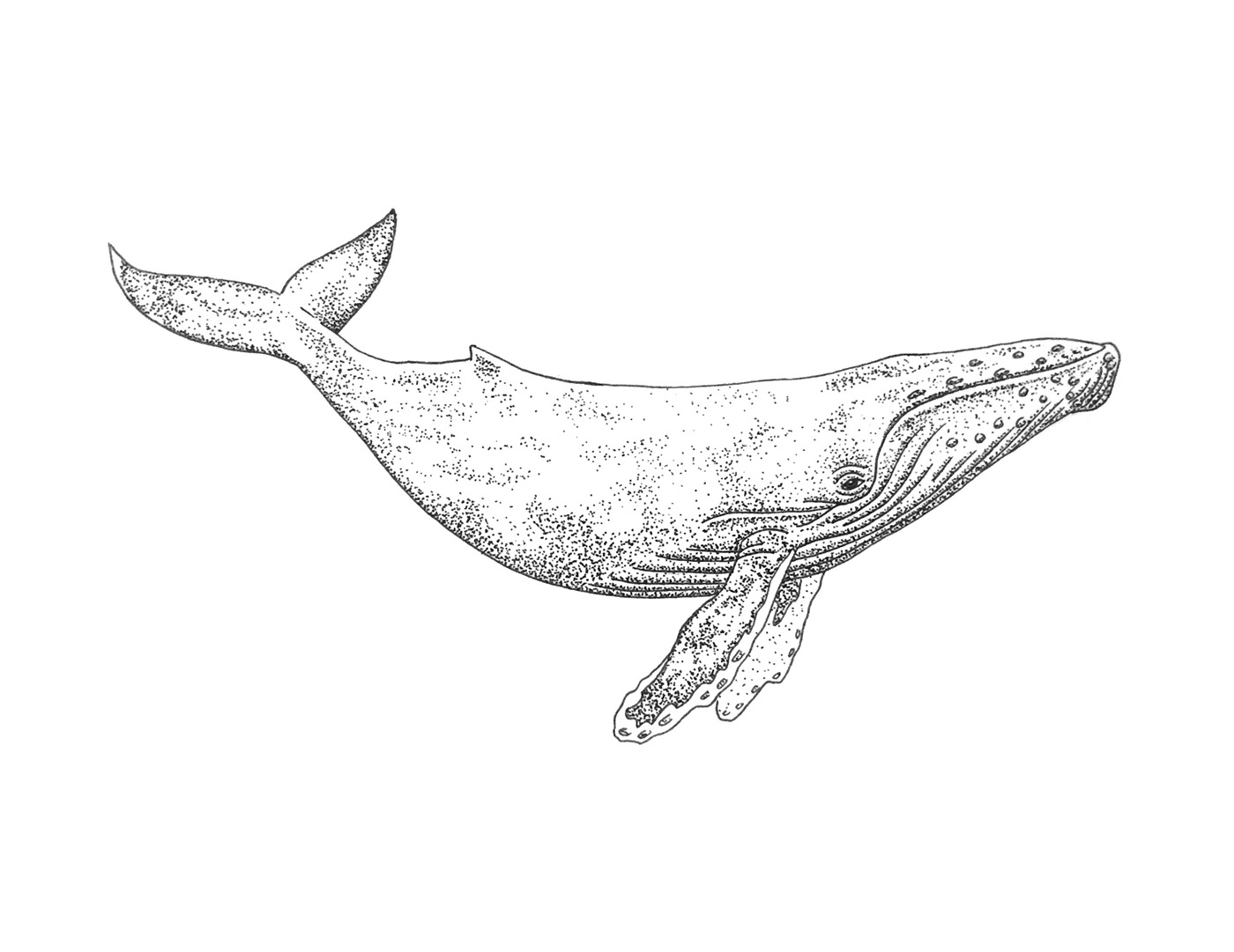 Humpback Whale Line Drawing : Humpback whale tattoo on behance