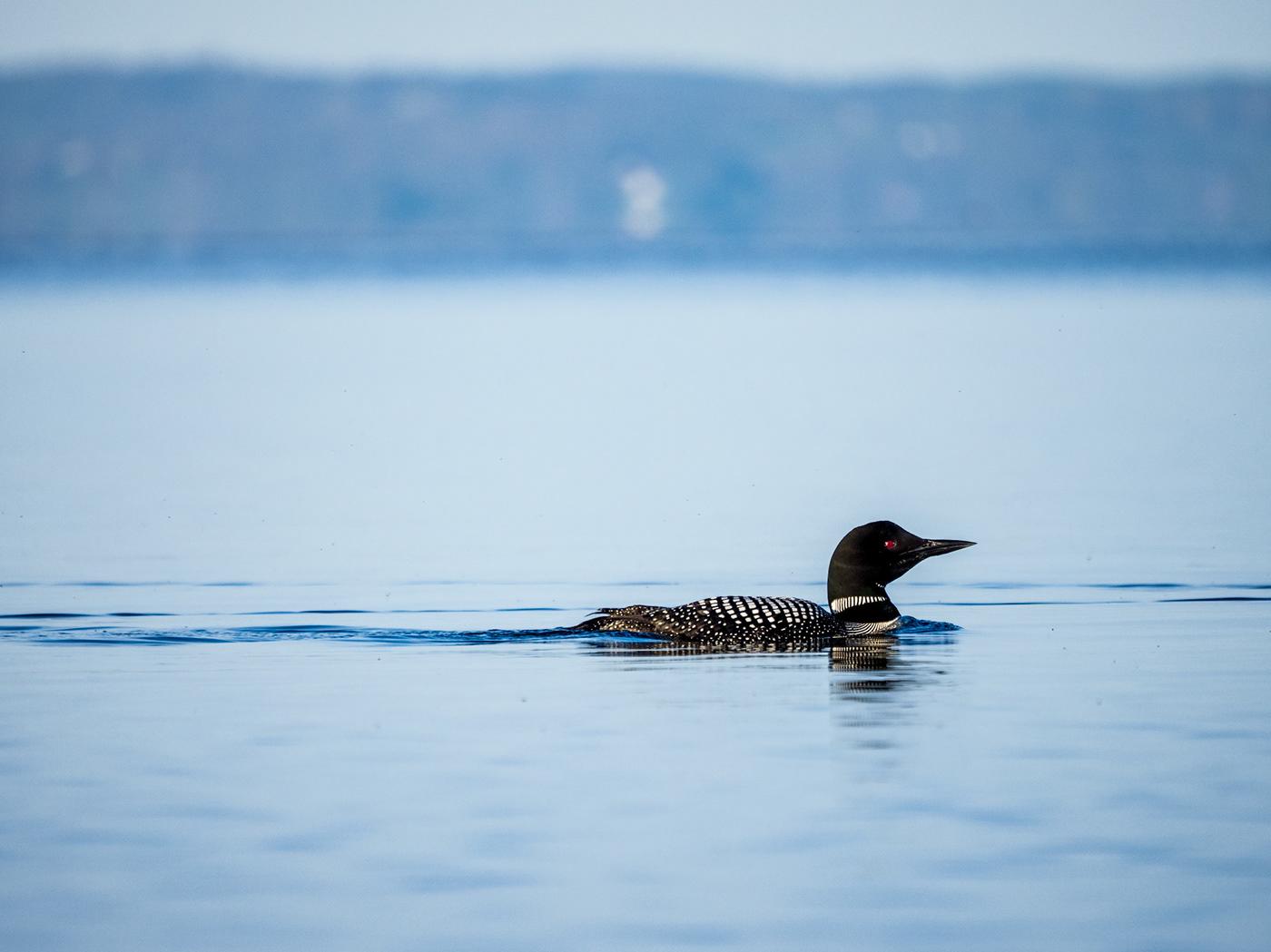 animals birds Common Loon lake loon Nature Ontario Rice Lake