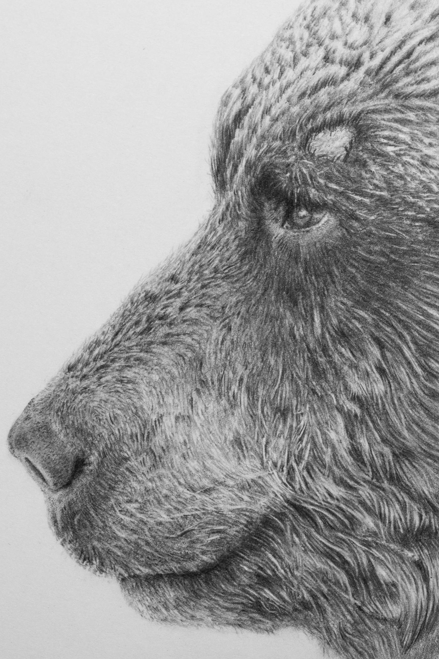 Pencildrawing ussuri brown bear on behance