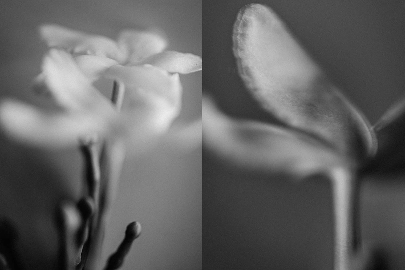 Black and white fine art photographs of flowers.