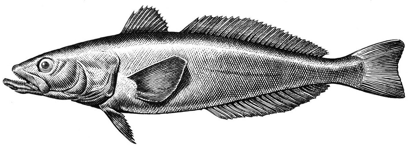 Sea Bass Deutsch