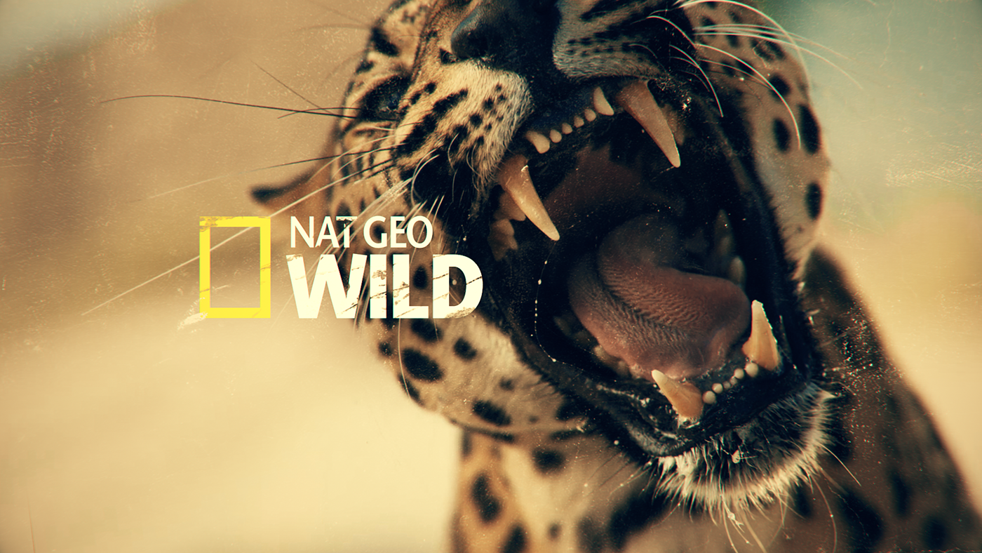 Nat geo wild big cat week promo package on behance - National geographic wild wallpapers ...