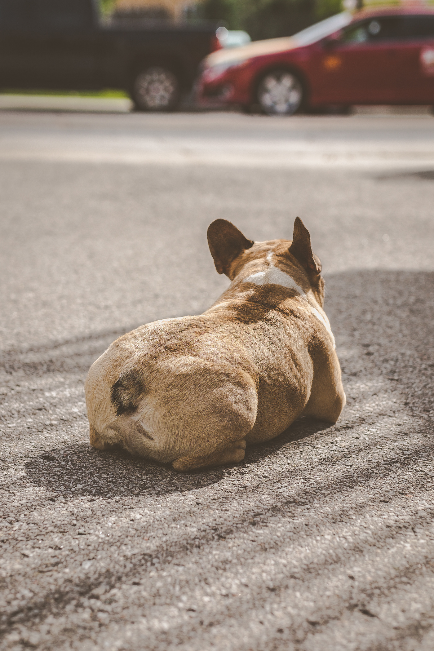 Photography  portrait Toronto Dog Portraits pets dog French Bulldog Natural lighting pet photography