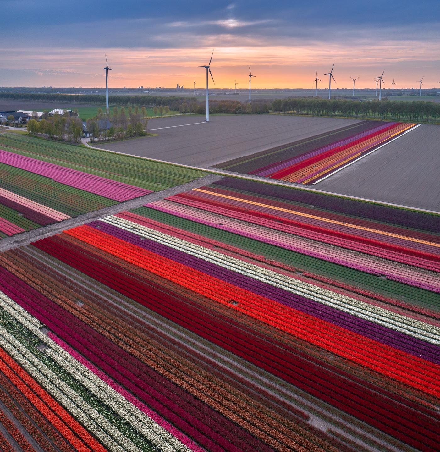 dutch Flowers flowerseason The Netherlands Tulip Mania tulips