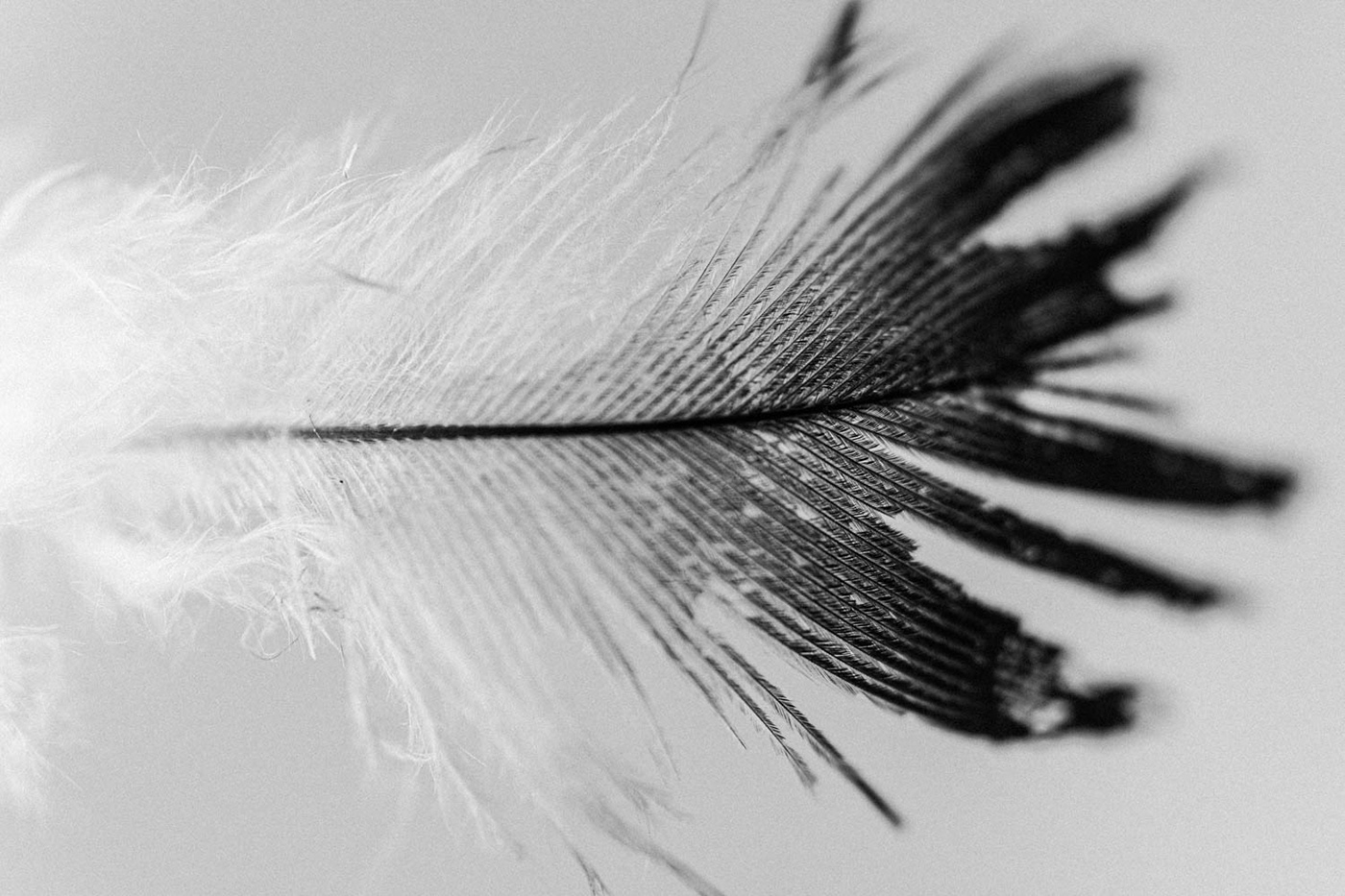 Black and white feather photo.