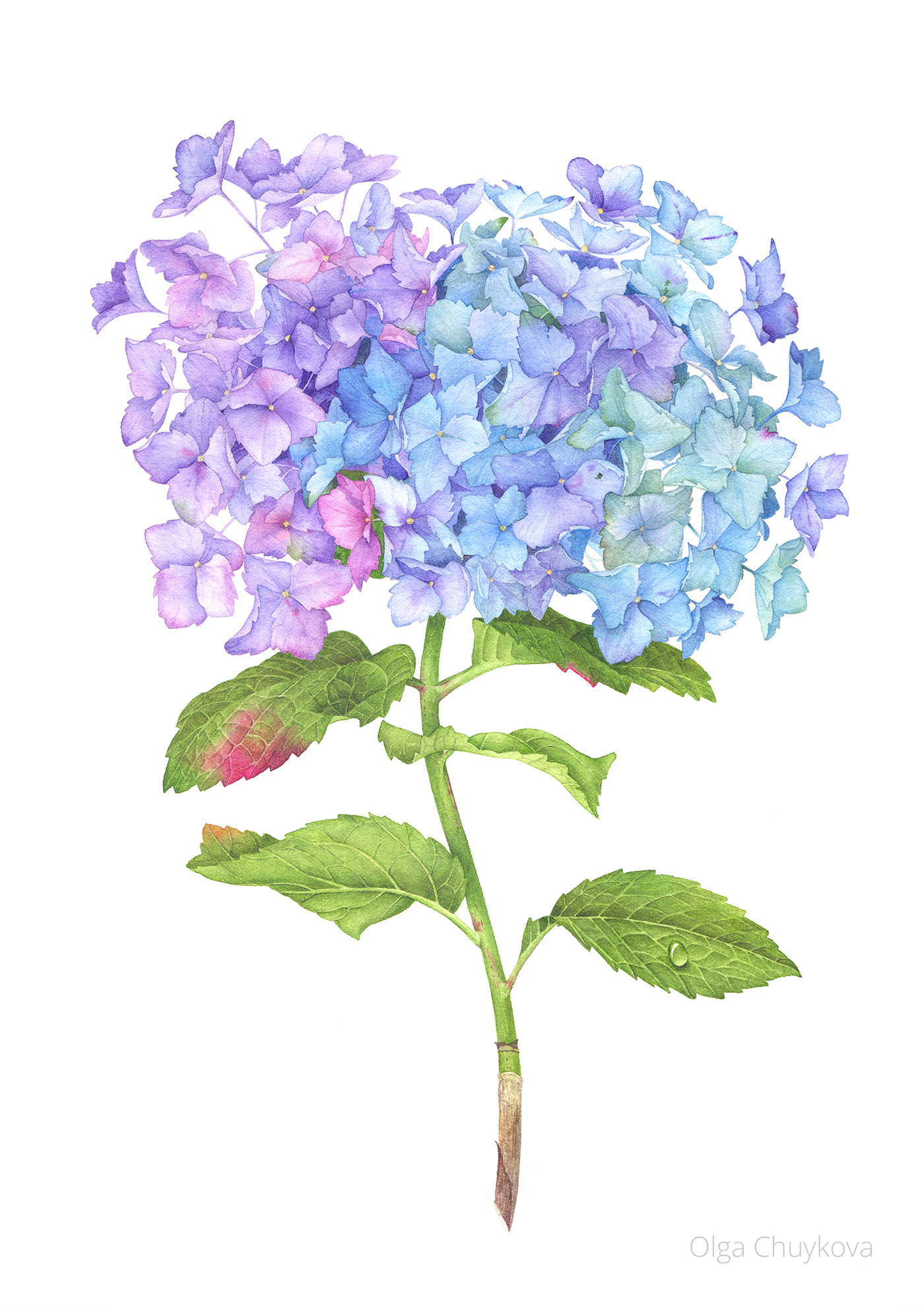 Hydrangea Flower With Watercolor On Behance