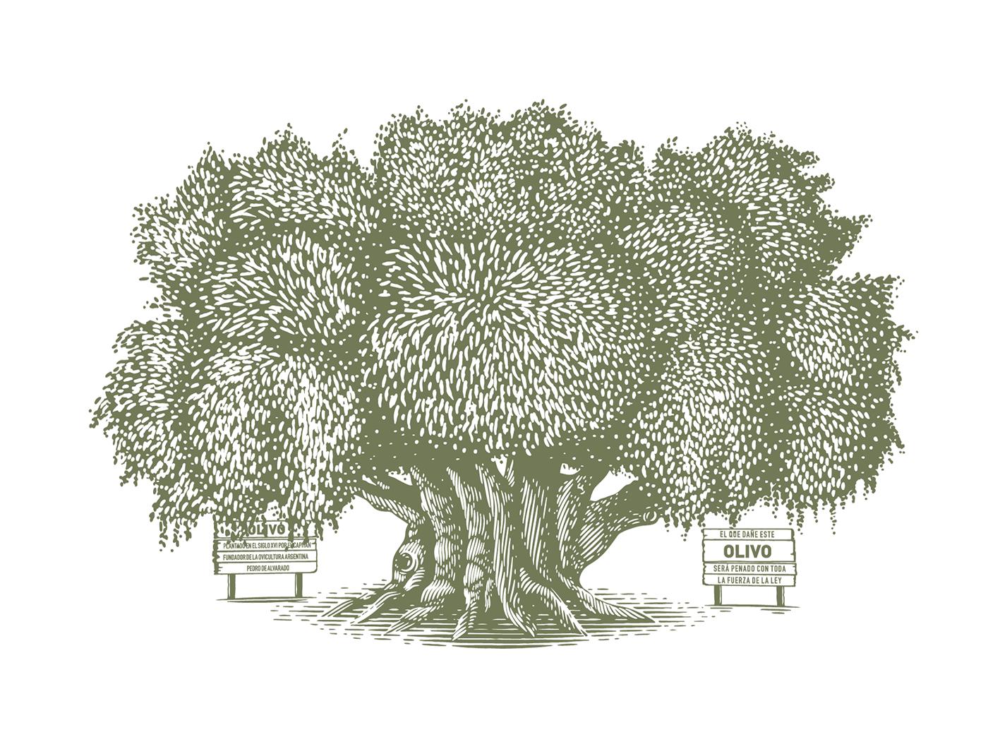 olive olivo   arbol Tree  ILLUSTRATION  ilustracion engraving grabado aceite oil