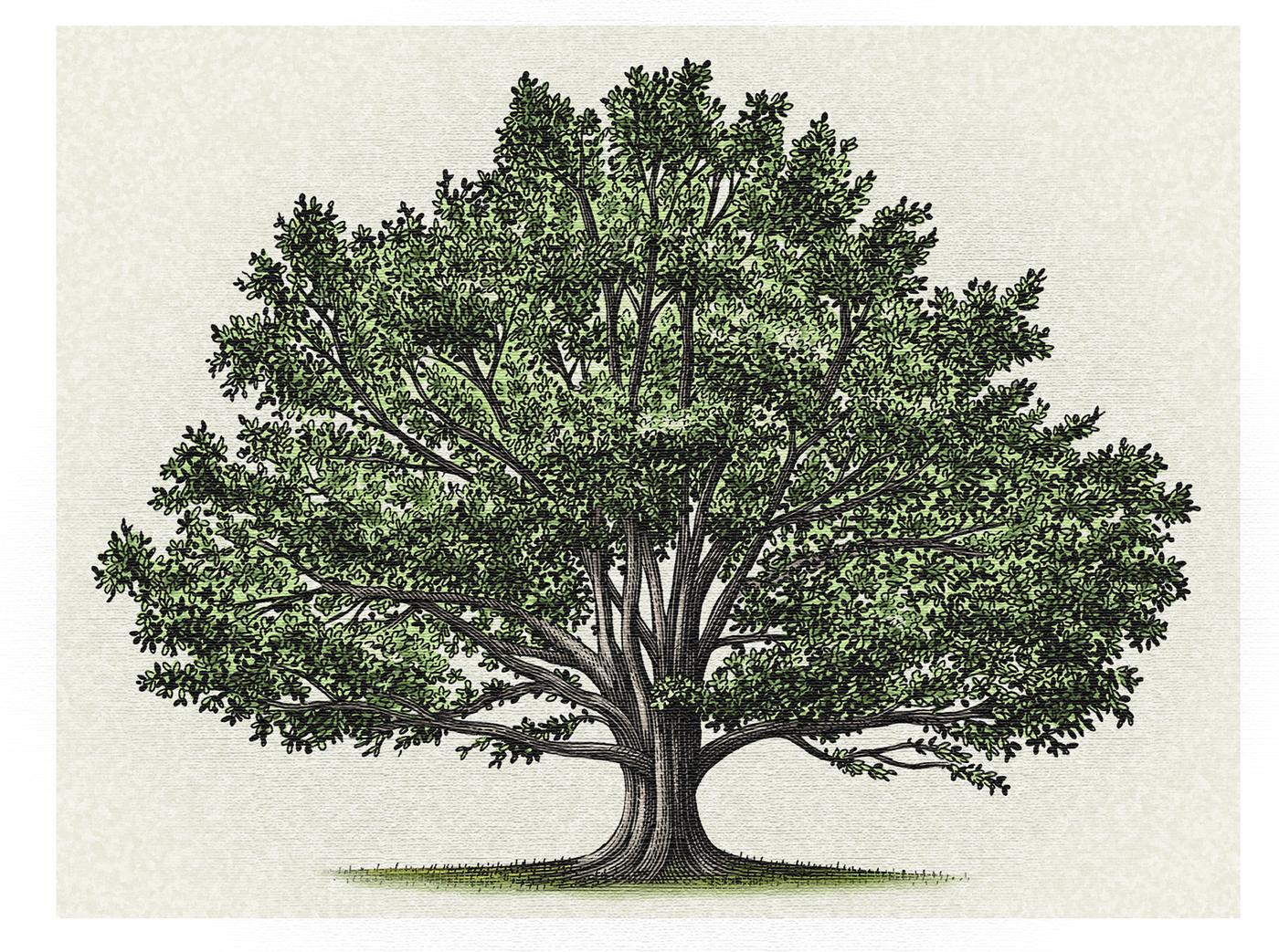 повседневной раскидистое дерево картинки без фона посадки