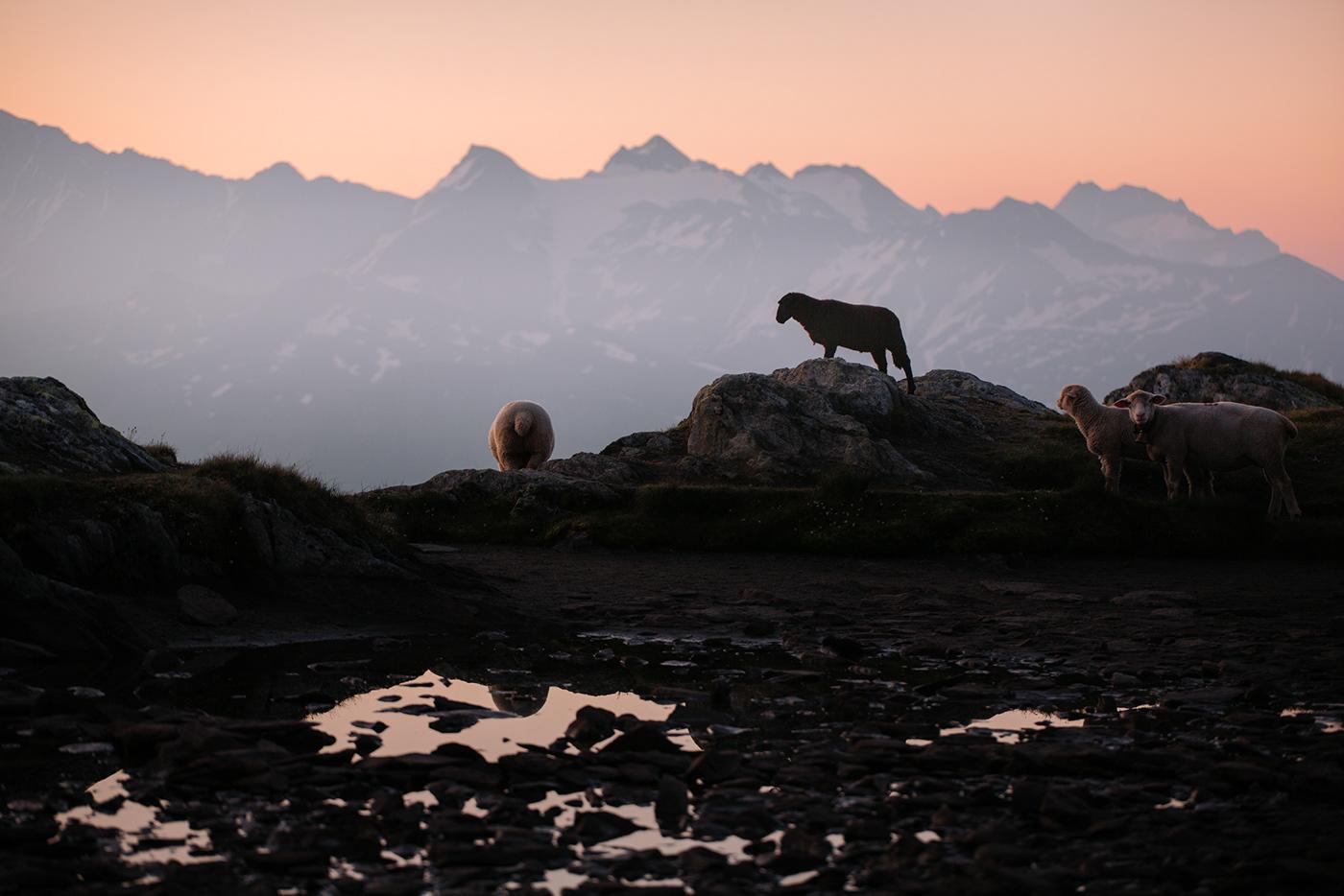 alps animals hiking Landscape mountains Nature Outdoor sheep Switzerland Sunrise