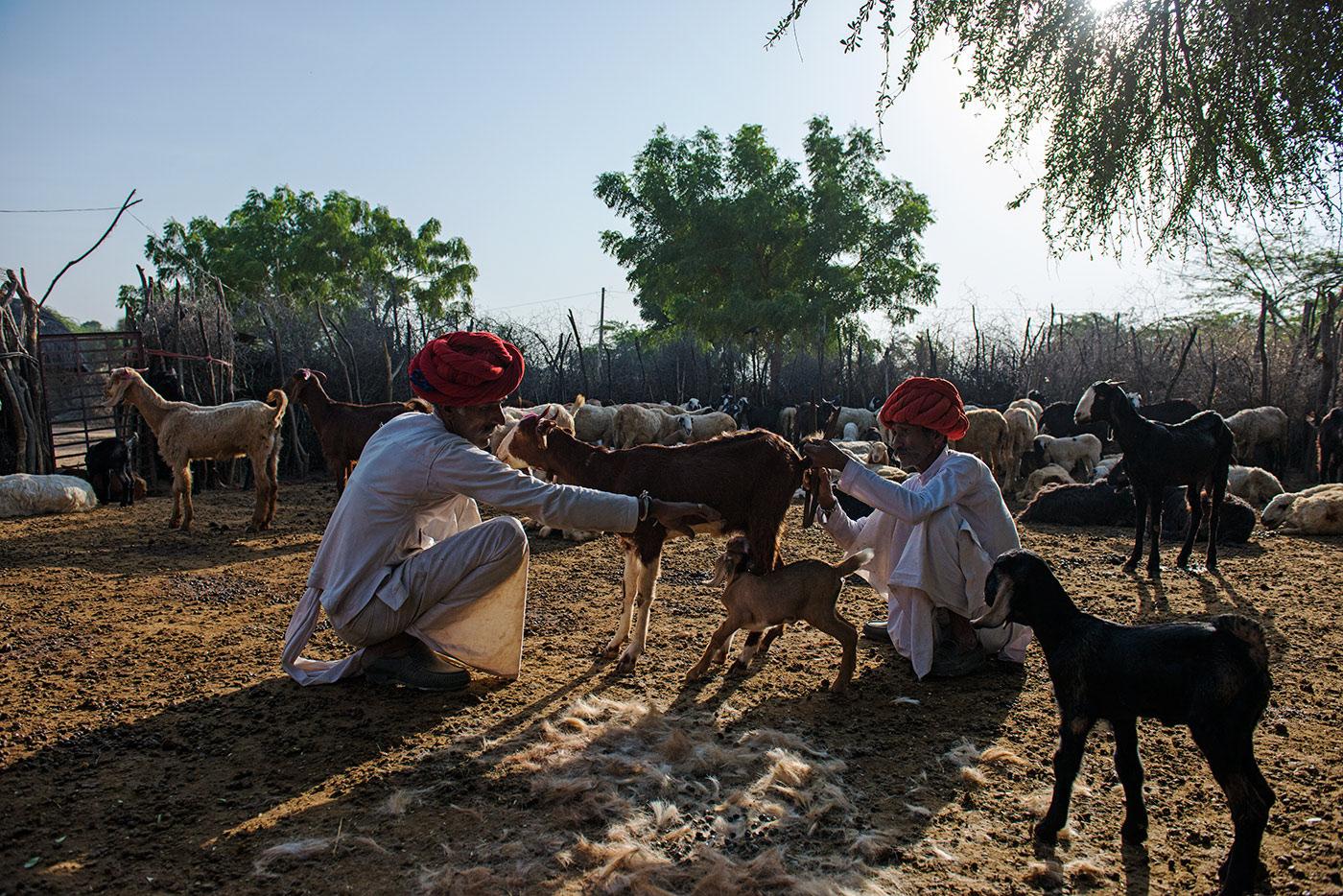 rabari nomads shear goats in rajasthan