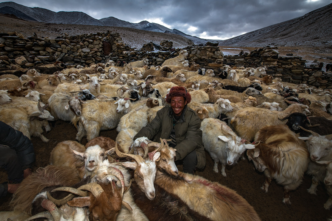 A changpa nomad, with his pashmina sheep at 5,200 metres in the iNdian Himalayas in Ladakh