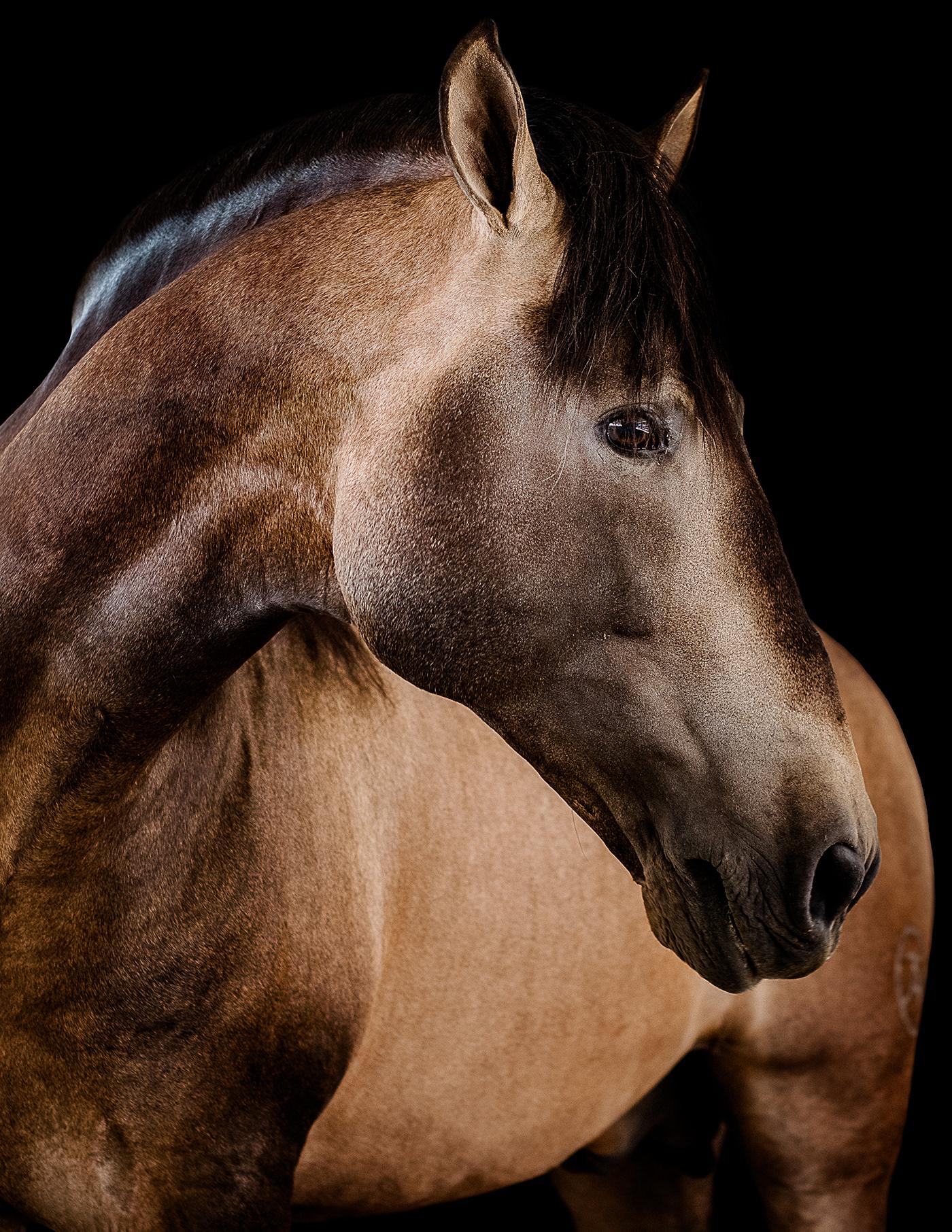 Imperioso Salvatella fotografia de caballos y mas