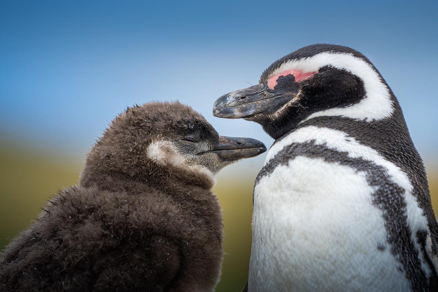 antarctic antarctica cute gentoo global warming ice magdalena penguins