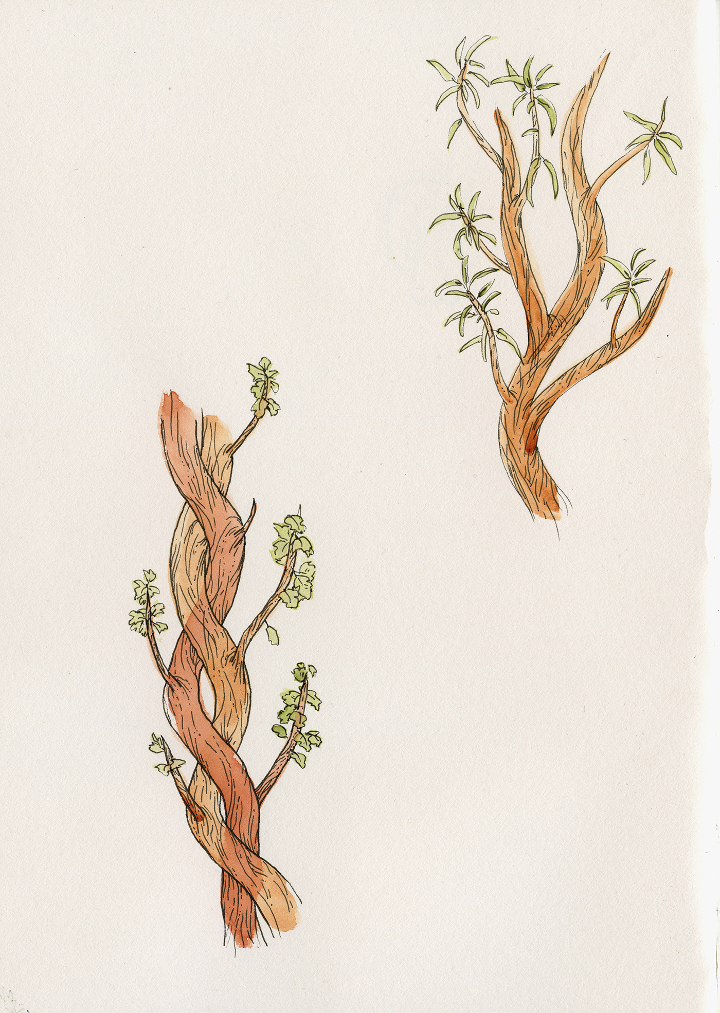 color Drawing  ILLUSTRATION  ink paper plants watercolors