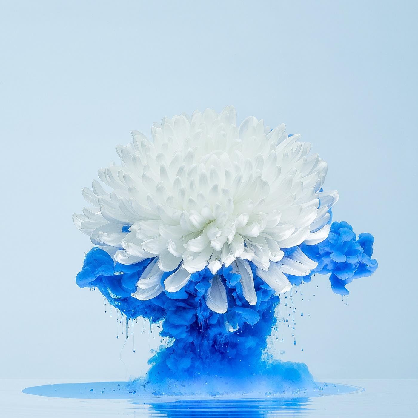aqueous blossoms color colour fine art floral flower inkdrop inks Photography  water