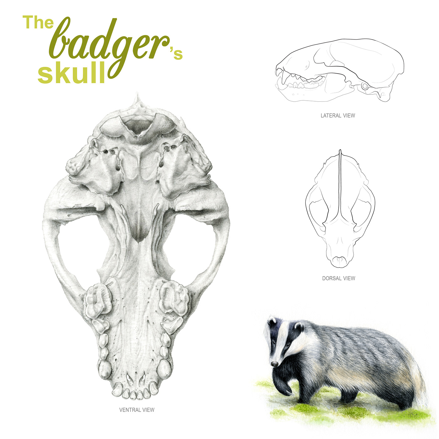 scientific illustration nature illustration badger skull graphite