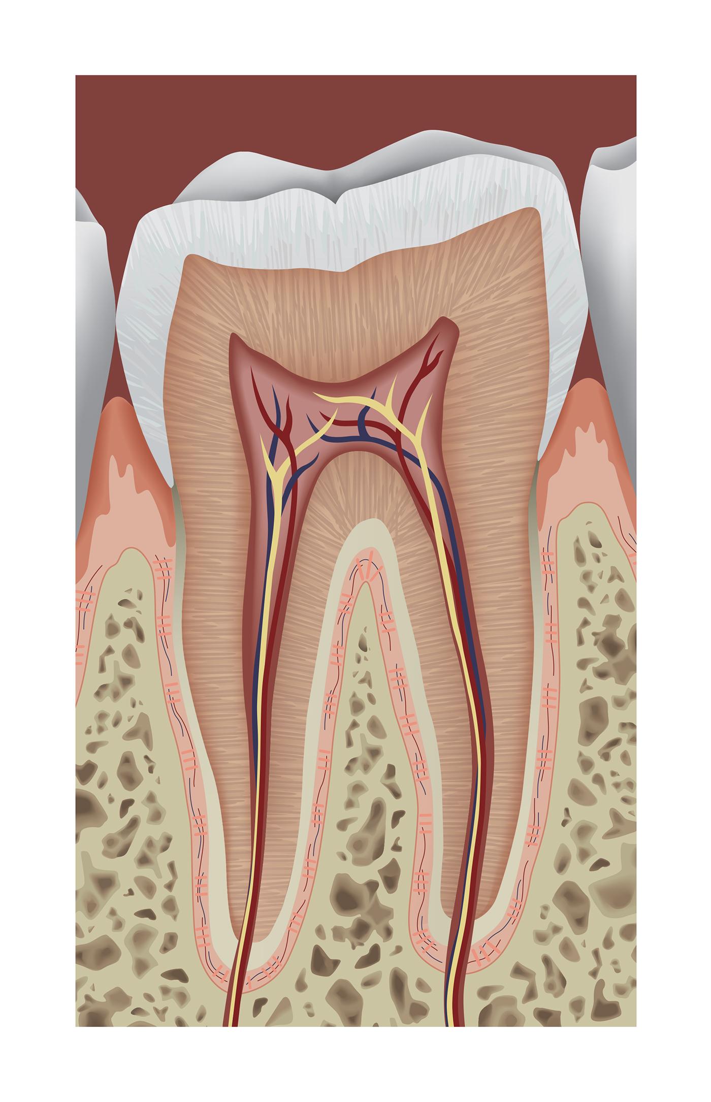 Tooth Anatomy Poster on RIT Portfolios