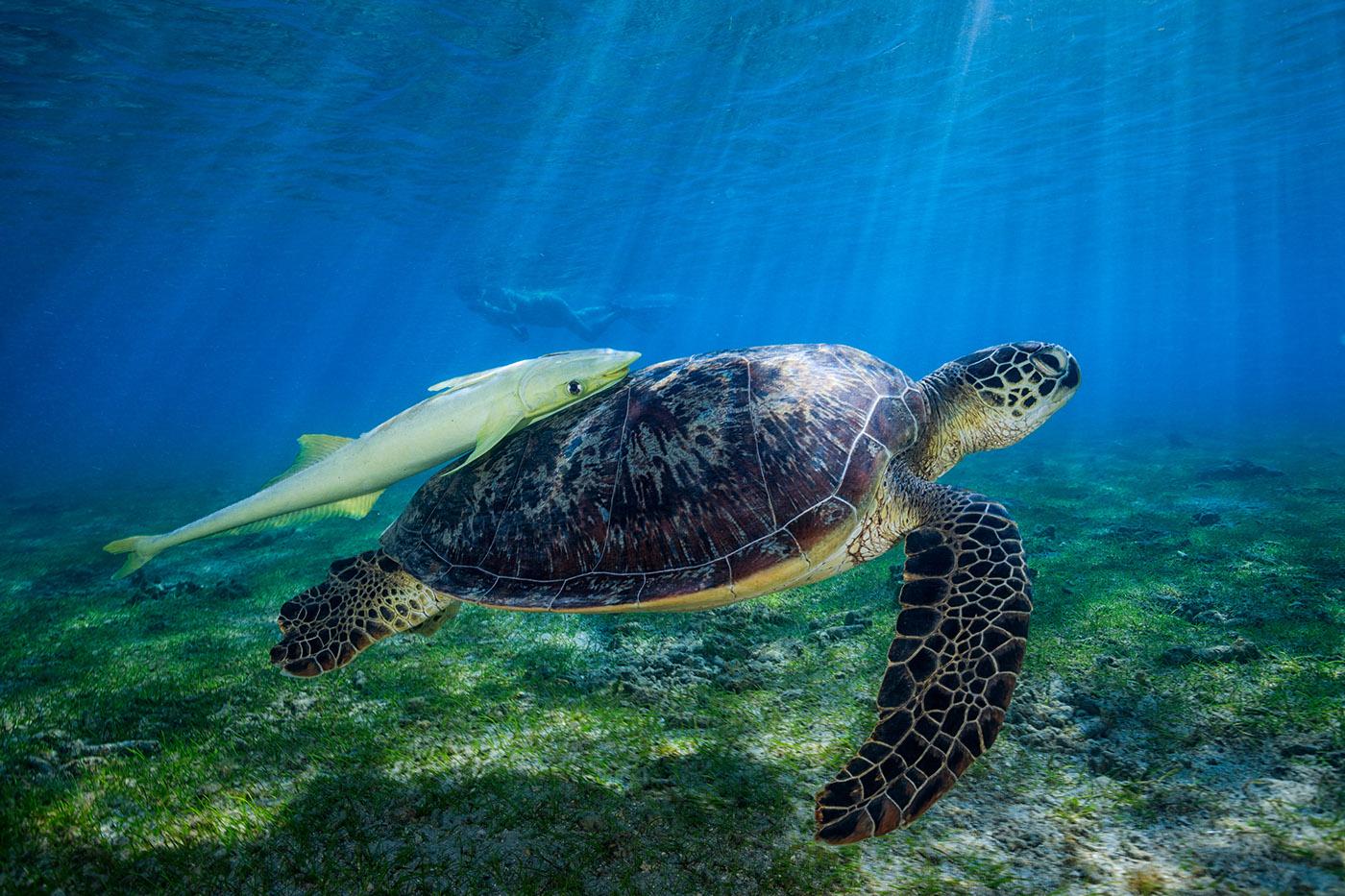 sea turtle on behance
