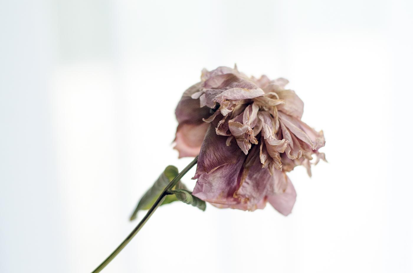 rose flower vanity wilted calm pastel