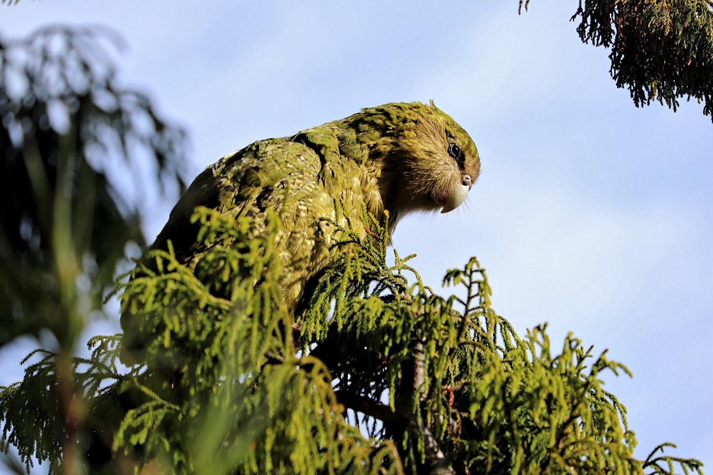bird CG houdini Kakapo rnd