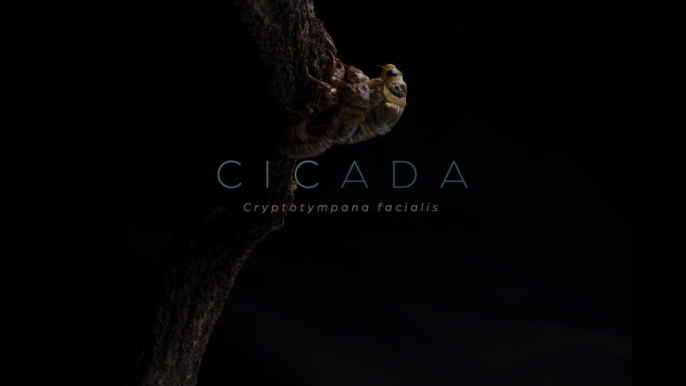cicada Cicada emergence Emergence セミ タイムラプス 孵化 羽化 脱皮 Time Lapse