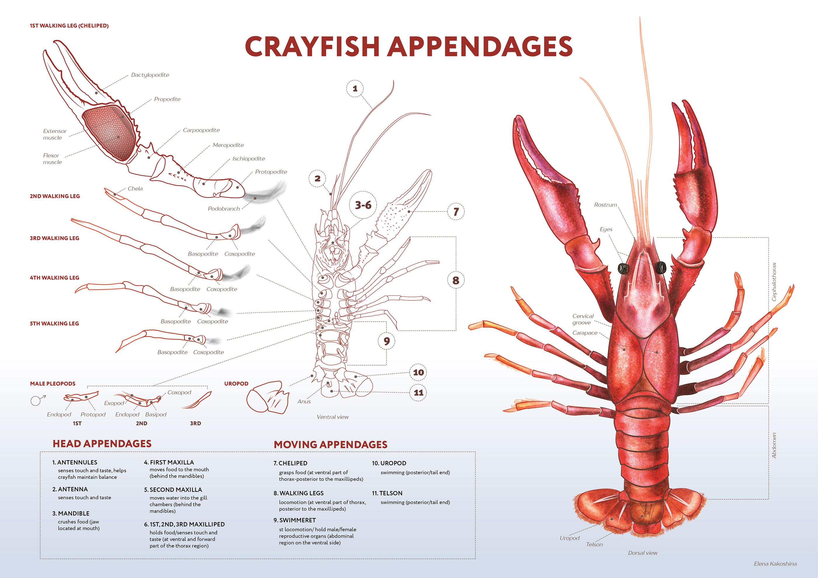 Diagram Of Morphometric Measurements Of Crayfish Bodies